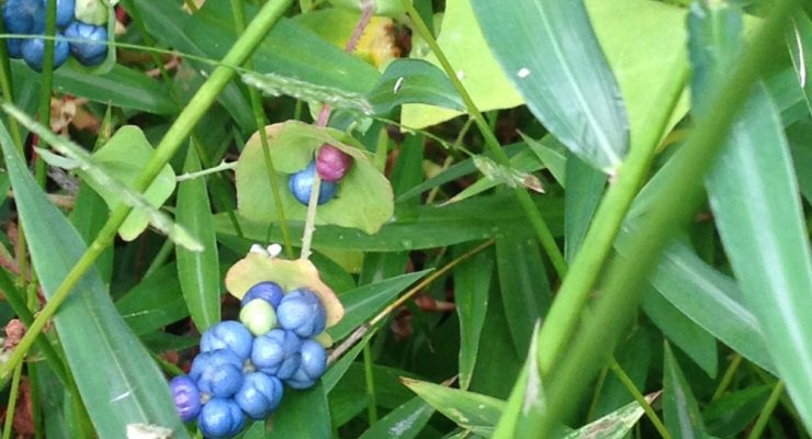 These plants don't belong here: Blue fruit of mile-a-minute vine (photos by Darlene Robbins)