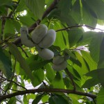 Backyard Nature: The fruits (and nuts) of foraging