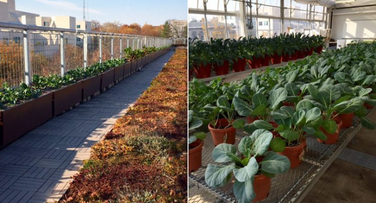 UDC's rooftop garden and greenhouse produce a bounty even in late fall. (photos courtesy of Sandy Farber Bandier)